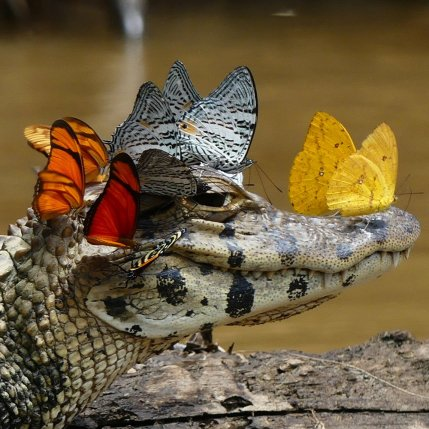 mark_cowan_caiman_con_mariposas_2